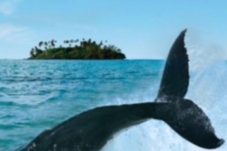 Tanec s keporkaky: Zažijte velrybí námluvy v karibském ráji