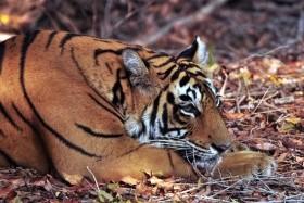 To nejlepší z Indie + tygři v Ranthambore