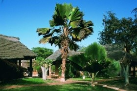 Royal Horizon Baobab
