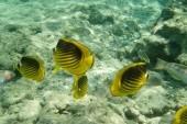 korálové raby