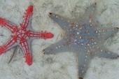 hvězdice