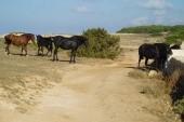 Cestou na pláž můžete vidět i volně se pasoucí koně