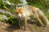 liška na Hrebienku