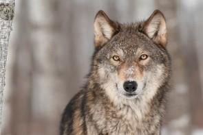 Park des Loups - Alpha
