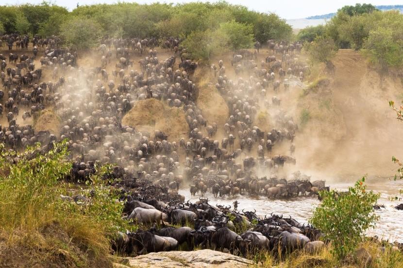 Stádo buvolů při zdolávání řeky Mara