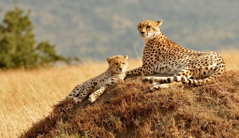 Gepardi v Masai Mara