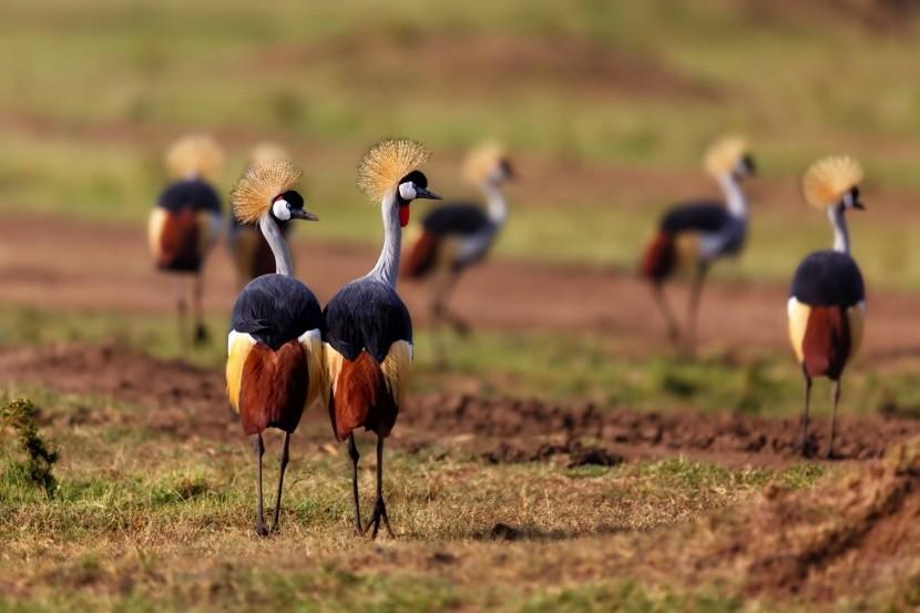 Jeřábi královští v Masai Mara