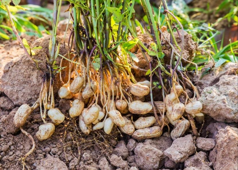 Podzemnice olejná - arašídy