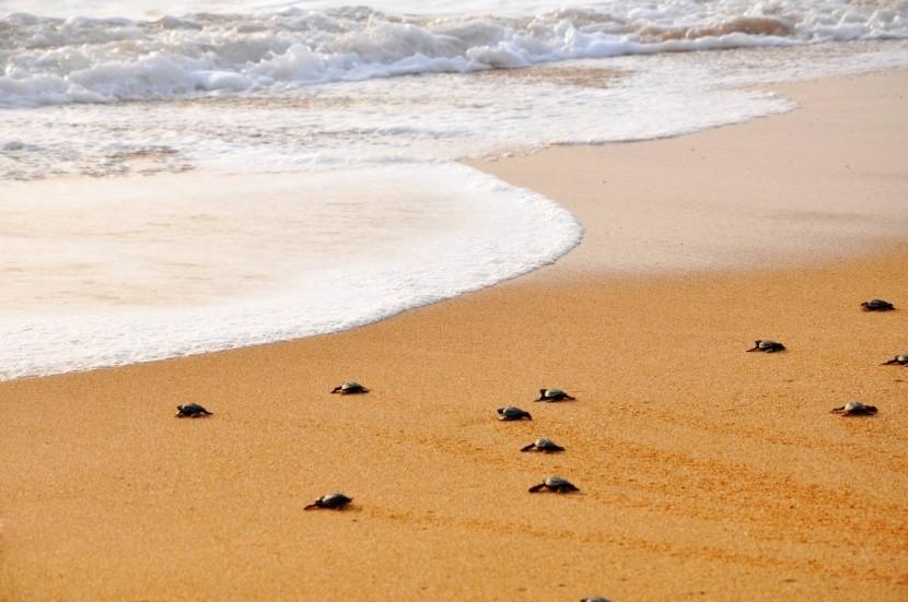 Novorozené želvy na pláži Alagadi