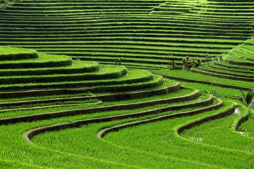 Rýžová pole na Bali