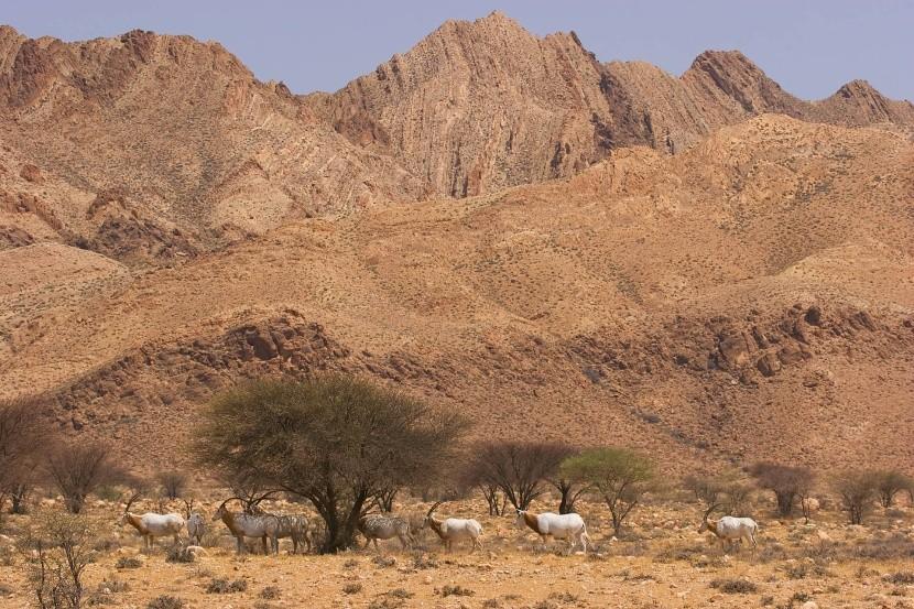 Přímorožci v NP Bou Hedma