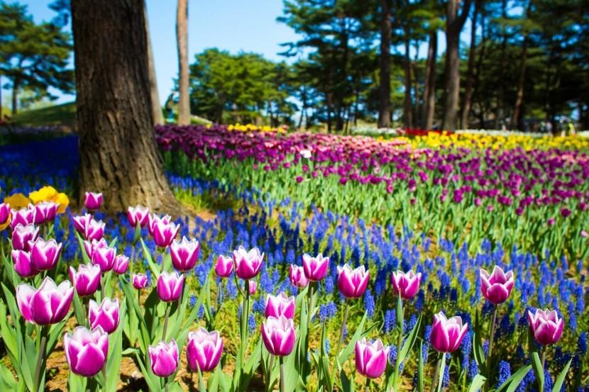 Tulipány v Hitachi Seaside Parku