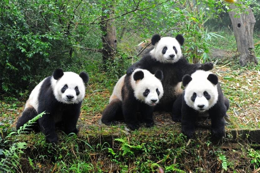 Pandy v Čcheng-tu
