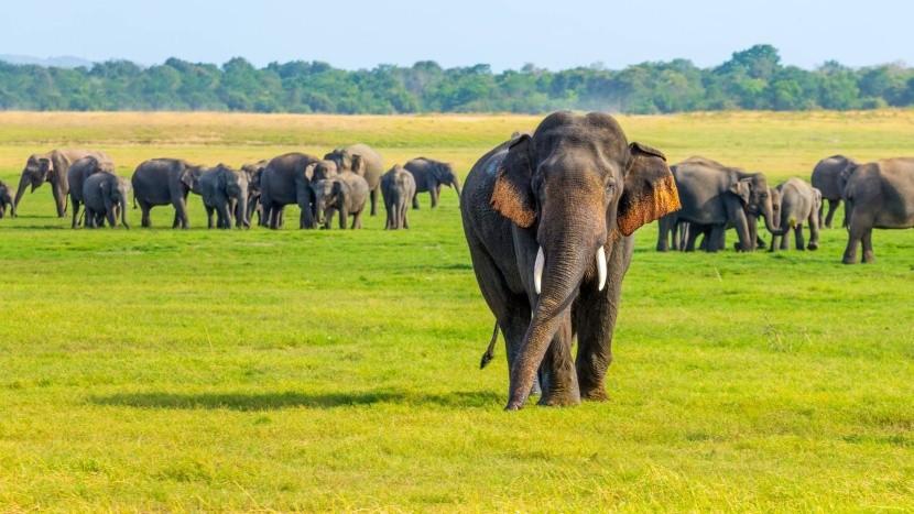 Divocí sloni na Srí Lance