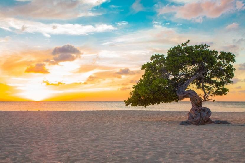 Strom divi-divi na pláži