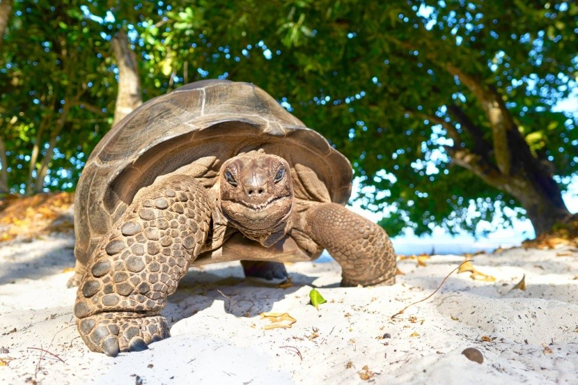 Obří želva na Seychelách