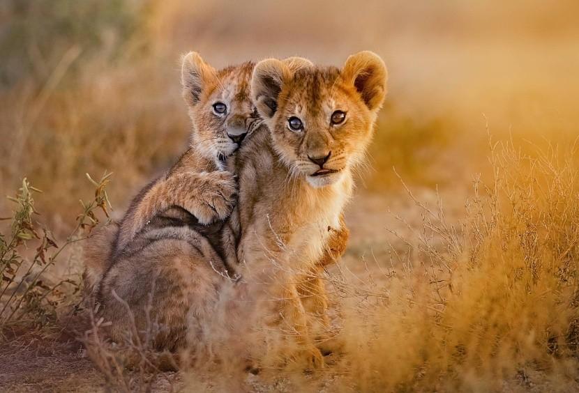 Lvíčata ve volné přírodě
