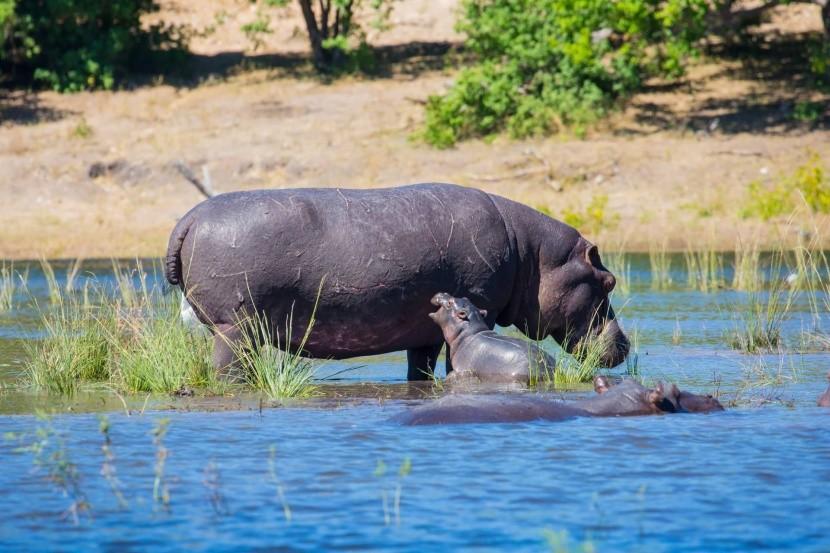 Hroší rodina u řeky Okavango, Botswana
