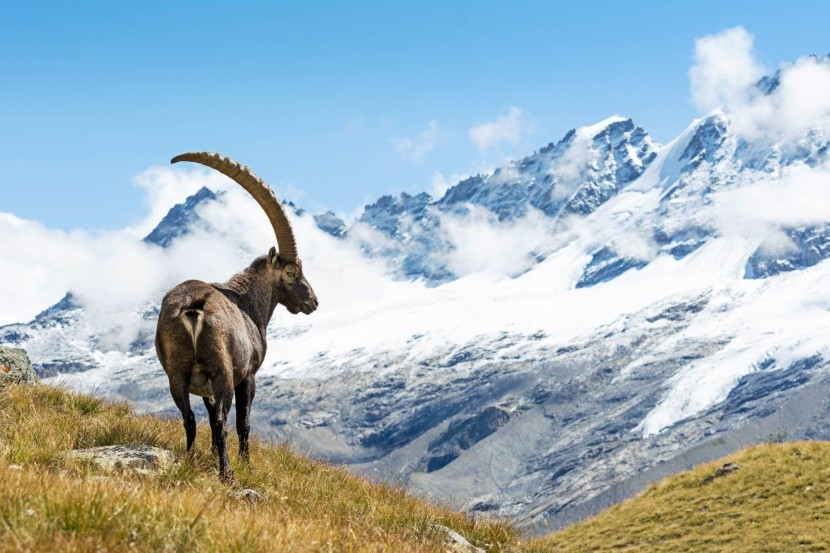 Kozorožec horský v NP Gran Paradiso