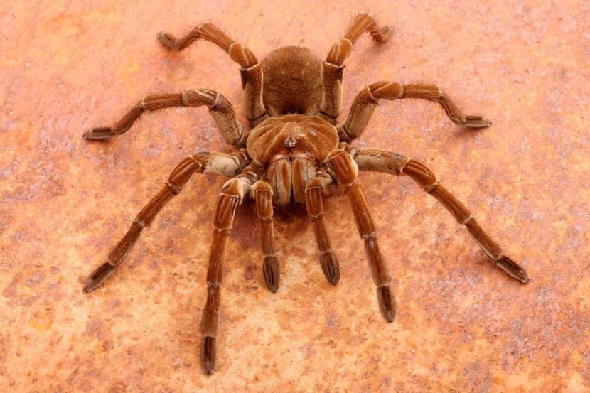 Největší pavouk světa