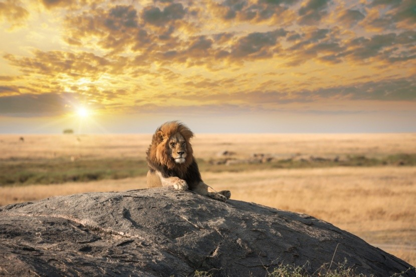 Lev, král zvířat