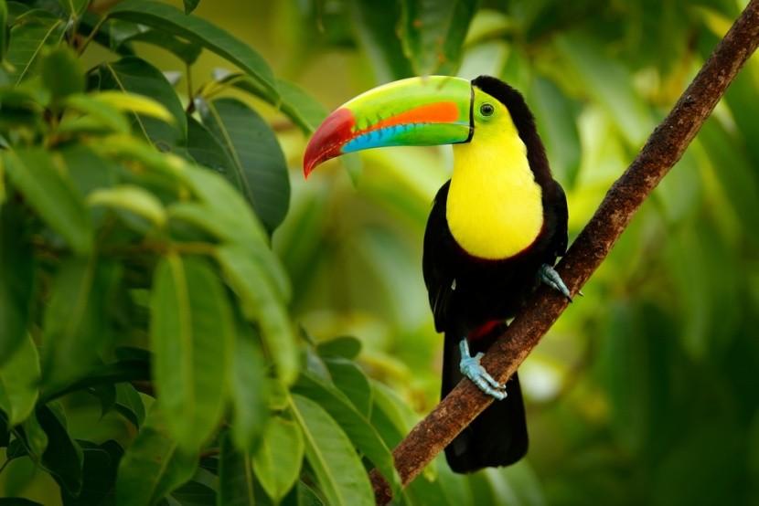 Roztomilý tukan v Kostarice