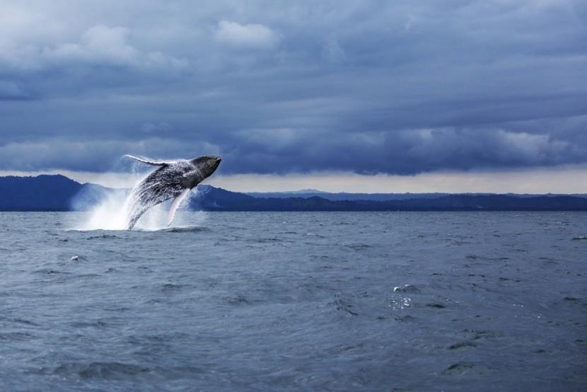Velrybí mámení