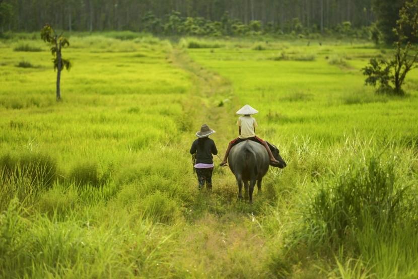Rýžová pole a buvoli
