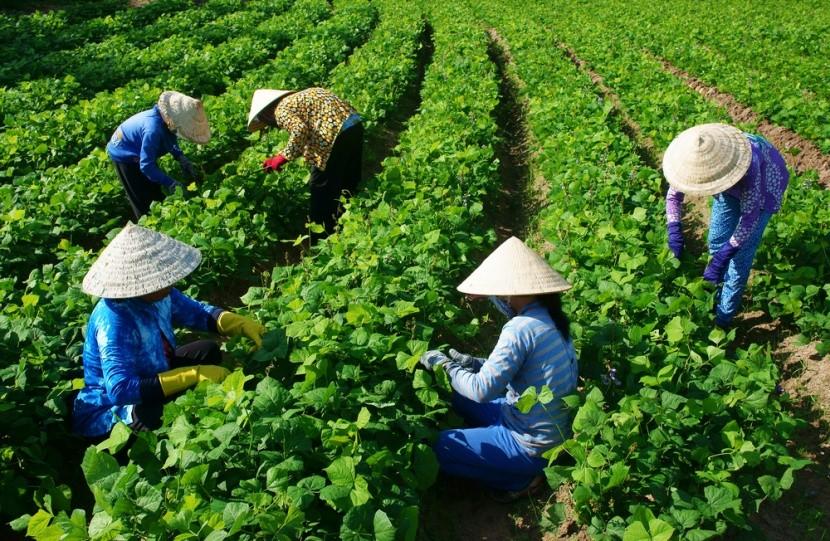 Vietnamštví farmáři vědí, co jí a proč