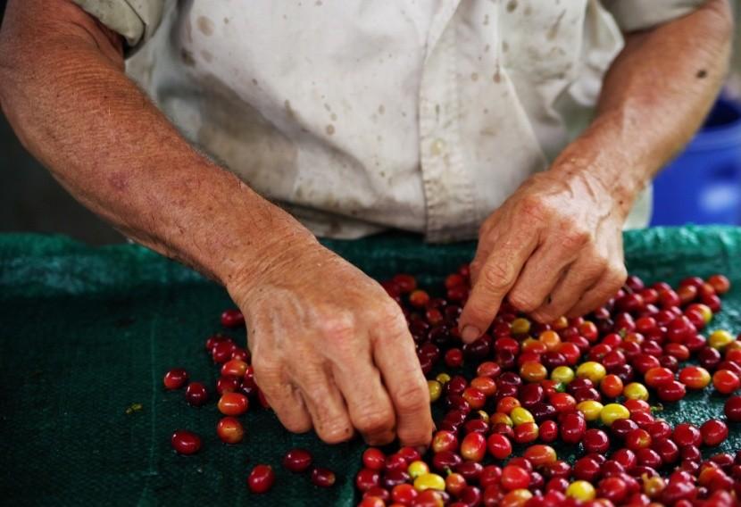Třídění etiopských kávových třešní