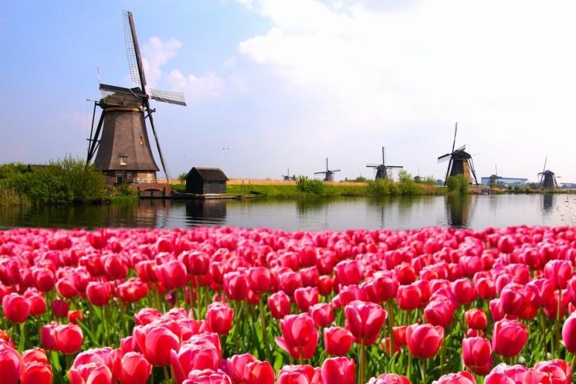 Větrné mlýny a tulipány v Holandsku
