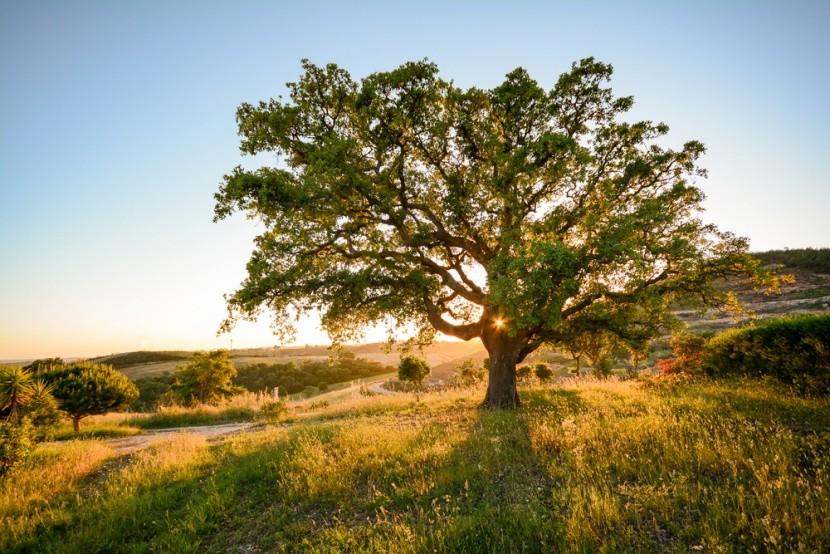 Korkový dub v portugalském Alenteju