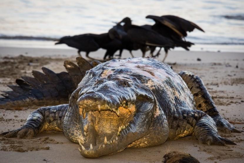 Aligátor Tito žije v parku Coiba na Panamě