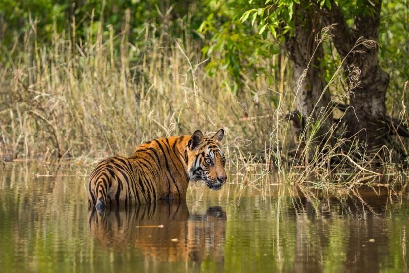 Národní park Bandhavgarh v Indii