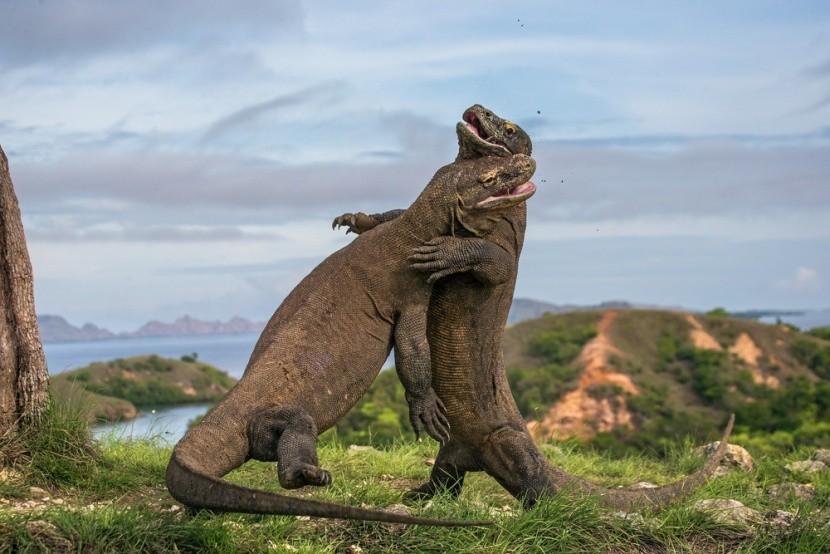 Největší žijící ještěr, varan komodský