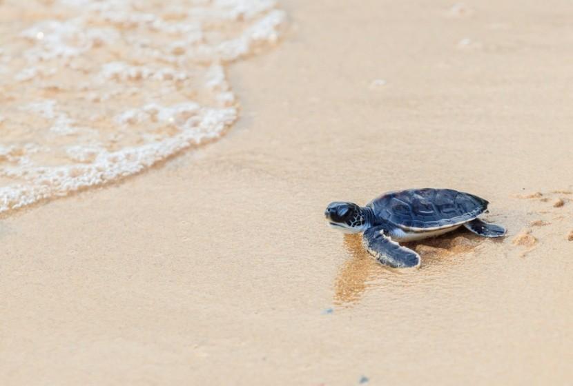 Želva na Shell Beach, Guyana
