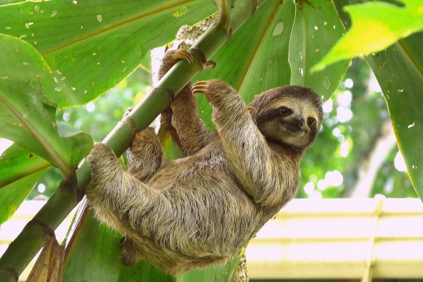 Lenochod na Kostarice