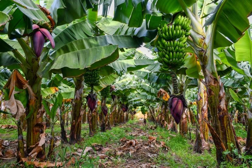 Banánová plantáž, Gran Canaria